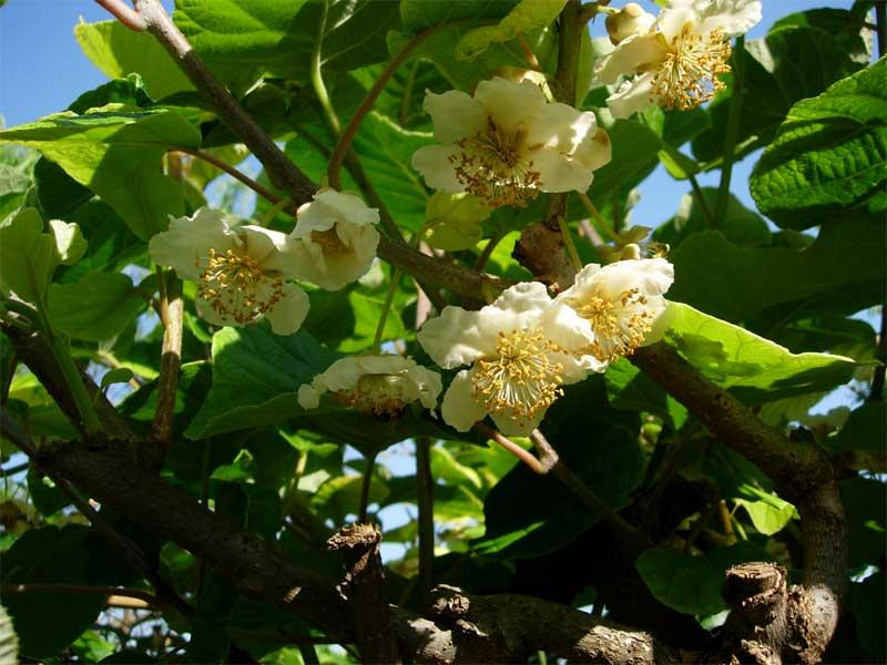 Фото цветков киви